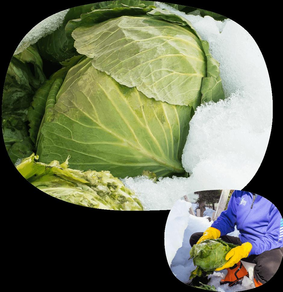 雪中キャベツ収穫体験